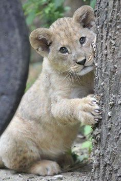 Lion Cub - Cute animal pictures: 100 of the cutest animals!