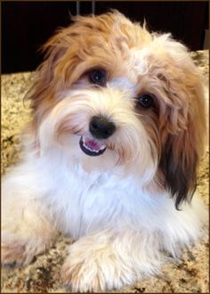 Welcome to the New Home of Rockhurst Havanese!