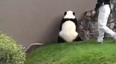 Zookeepers trying to keep a panda from rolling down a hill