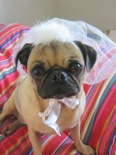 Perhaps a veil that matches her master's? Photo courtesy Bridal Party.