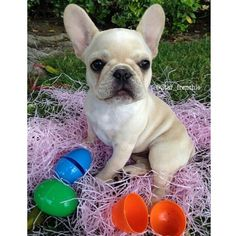 Bubbles, the French Bulldog Puppy at Easter