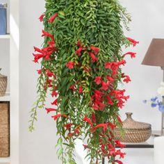 plante interieur tombante fleurie