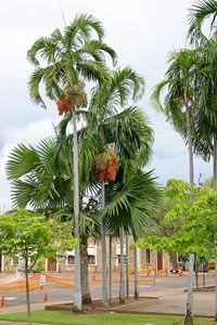 christmas tree palm can grow up to 6 feet a year - Christmas Tree Palm