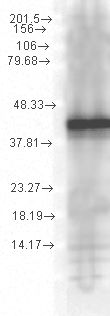Western blot analysis of Hsp40 YDJ1 in a human cell line mix using a 1:1000 dilution of SMC-150.