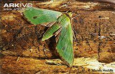 Endangered Species of the Week: Fabulous green sphinx moth