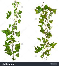 sprig of ivy with green leaves isolated on a white background #485672683