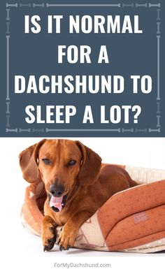 Does it seem like your small dog sleeps all day? Do you wonder if it's normal for your dog to sleep so much? In this article, find out when it is and when it might be an indicator of an underlying health condition. Dachshund Breed, Dachshund Love, Dachshunds, Sleeping A Lot, Super Tired, Sleeping Puppies, The Perfect Dog, Dachshund