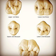 Posterior-Occlusal-Anatomy-Cheat-Sheet....jpg (640×640)