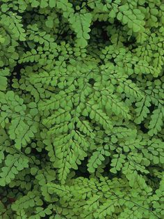 #Shade Gardening Maidenhair fern is grown for its mix of thin, black stems and new bronze-pink fronds, which turn fresh green.