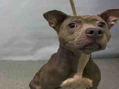 PRINCESS - A1059302 - - Manhattan  TO BE DESTROYED 12/05/15  *** RESCUE ONLY ***  Aww, you can see that Princess is on high alert. This tiny 2 year old was found abandoned and traumatized by humans. Princess is highly fear aggressive although we do not know what horrors she endured at the hands of people. Princess only weighs 38 pounds which is ridiculously thin for a pit bull mix. Princess braved entering the play yard and SURPRISE: she was reticent but trusting around oth