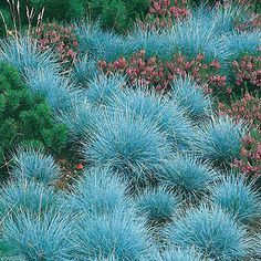 Blue fescue grasses  - one of the elements for building the perfect beach-themed garden space. #garden #ad #ebay