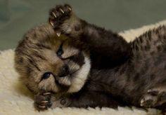 Cheetah Cub!!!