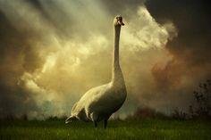 Swan scene | Flickr: partage de photos! by Audran Gosling
