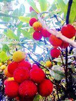 miluna tuanis korsika literatur blog korsika.fr: Flora aus Korsika: Westlicher Erdbeerbaum (L'Albit...