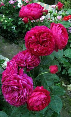 ~'Ascot ' Rose Photo