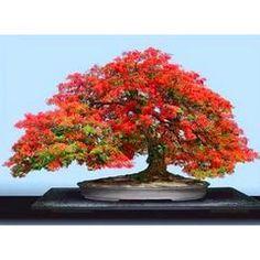 Delonix Regia - Royal Poinciana Flamboyant Tree - 5 Seeds - Beautiful Bonsai for R15.00