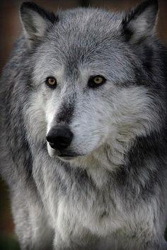 Big Bad Wolf - by: Athena Mckinzie