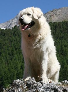 """I could be king!"" #dogs #pets #HungarianKuvasz Facebook.com/sodoggonefunny"