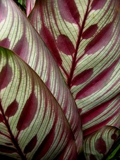 peacock plant | Flickr - Photo Sharing! Garden Plants, Indoor Plants, House Plants, Patterns In Nature, Textures Patterns, Nature Pattern, Beautiful Patterns, Peacock Plant, Belle Plante