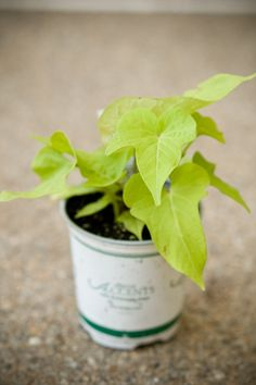 Sweet Potato Vine  This climber is perfect for containers since it creeps down over the edge. It grows very fast and is the prettiest bright yellow green.