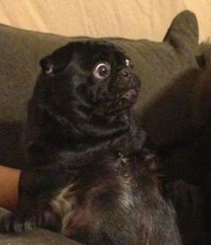 This is what a pug looks like when it sees food!