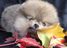 Pomeranian for sale near me,ready for rehome now Teacup Dogs For Sale, Teacups For Sale, Pomeranian Puppy For Sale, Teacup Pomeranian, Pets For Sale, Puppies Near Me, Cute Puppies, Cute Cats And Dogs, Cute Baby Animals