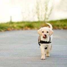 Do you love puppies but don't want the commitment of caring for a dog for several years? Have you been looking for a way to combine your love of puppies with your desire to volunteer and make a difference in your community? I