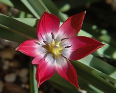 Tulipa humilis 'Red Cup'