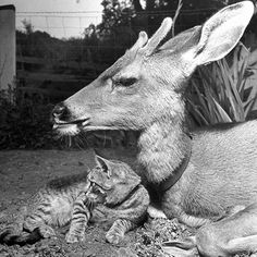 A baby deer named Bucky relaxing with a kitten. Bucky appeared on the cover of LIFE magazine on August 23, 1948. (Jon Brenneis—The LIFE Images Collection/Getty Images) #wildLIFEwednesday