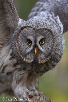 grey owl with wings spread while perched on fence post