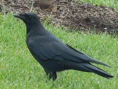 American Crow Feeding on Lawn