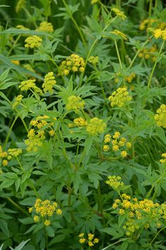 Zizia aurea (Golden Alexanders), a 3' tall member of the carrot family, blooms April, May, and June.  It will tolerate a lot of shade but prefers full sun or light shade and can grow in wet or dry sites.  Short-lived but reseeds.  Zones 3-8.