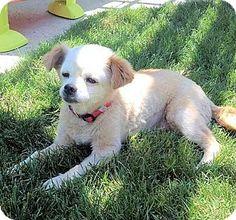 Fresno, CA - Pekingese/Chihuahua Mix. Meet Lulu, a dog for adoption. http://www.adoptapet.com/pet/15803541-fresno-california-pekingese-mix
