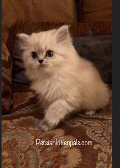 Find this Pin and more on Persian Kitten Pals by ajroy3030.