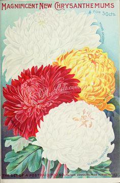 060-Chrysanthemum      ...
