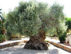 樹齢2000年のオリーブの木01