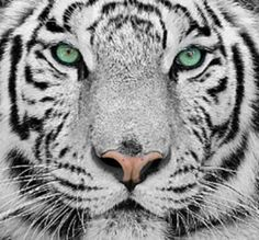 If I were reborn as an animal in another life, white tiger, ocean eyes.