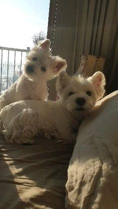 Westies, Westie Puppies, Cute Puppies, Cute Dogs, Cairn Terrier Puppies, Terriers, Funny Dog Videos, Funny Dogs, Cute Little Dogs