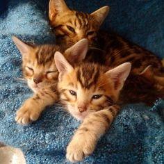 Joel his bengals kitten