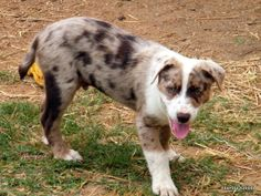 I have 1 Koolie puppy for sale, he has been wormed fortnightly, vetchecked, vaccination, microchipped and is registered with the Koolie Club of Australia. Koolie Dog, Working Dogs, Puppies For Sale, Natural World, Collie, Beautiful Things, Passion, Pets, Nature