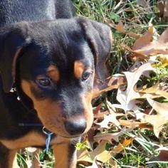 Doberman, Pitbull, Rottweiler, German Shepard mix puppy