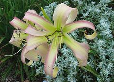 Daylily (Hemerocallis 'Thank You Dad') in the Daylilies Database (All Things Plants)