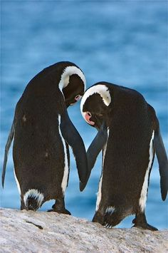 "Penguins: ""Hold my flipper Phoebe; remember: We are in this together!"""