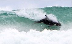 Orcas surfing, Auckland