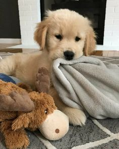 Everything we all like about the Intelligent Golden Retriever Puppies . - Everything we all know about the Intelligent Golden Retriever Puppies to like … - Super Cute Puppies, Cute Baby Dogs, Cute Little Puppies, Cute Dogs And Puppies, Cute Little Animals, Cute Funny Animals, Doggies, Puppies Puppies, Sweet Dogs