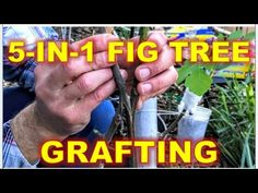 Want to grow your own fruit trees from cutting watch this video