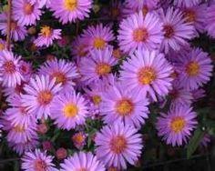 21 Best September Birth Flower Quot Aster Quot Images Aster September Birth Flower Beautiful Flowers