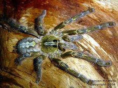 Poecilotheria rajaei   New giant Tarantula specimen found in Sri Lanka. - Off-Topic - Digital ...
