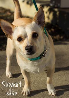 Stewart is an adoptable Chihuahua searching for a forever family near Newport, KY. Use Petfinder to find adoptable pets in your area. Newport, Chihuahua, Searching, Pitbulls, Adoption, Pets, Animals, Foster Care Adoption, Animales