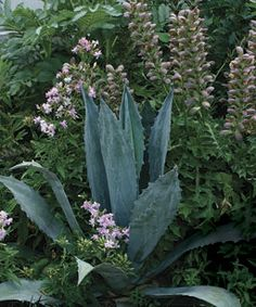 Spiny, steel blue American agave (Agave americana, Zones 9–11) draws the eye as its rigid form is softened by neighboring bear's breeches (Acanthus spinonsus, Z 5–9) and 'Flore Pleno' soapwort (Saponaria officinalis 'Flore Pleno', Z 3–9).